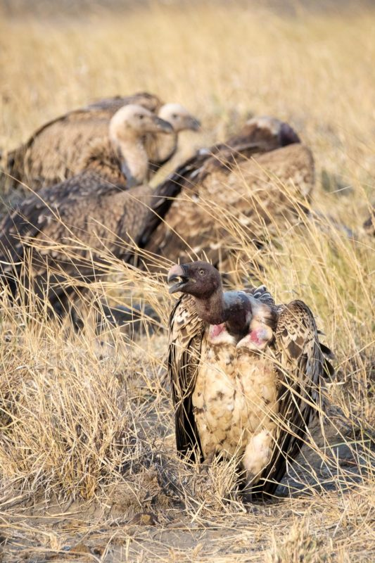 Vultures at a Zebra Kill 2